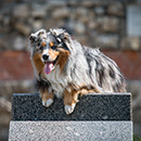mini aussie photo